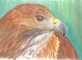 First polychromos coloured pencil picture