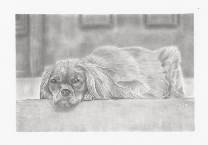 graphite-spaniel-with-border